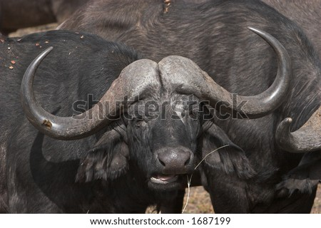 Cape buffalo, part of the big 5, chewing a piece of grass