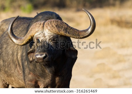 Cape buffalo standing in the open and search for possible danger