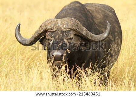 Cape buffalo (Syncerus caffer) on the Masai Mara National Reserve safari in southwestern Kenya. - stock photo