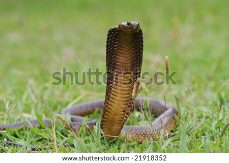 Cape cobra with it's hood spread ready to strike - stock photo