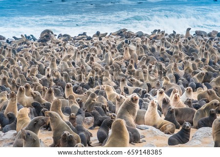 seal colony stock images royalty free images vectors shutterstock. Black Bedroom Furniture Sets. Home Design Ideas