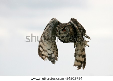 Cape Eagle Owl, Bubo ascalaphus, flying against cloudy sky
