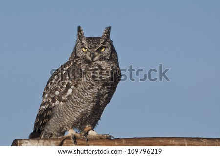 Cape Eagle-Owl (Bubo capensis) at a Birds of Prey Rehabilitation Center in South Africa