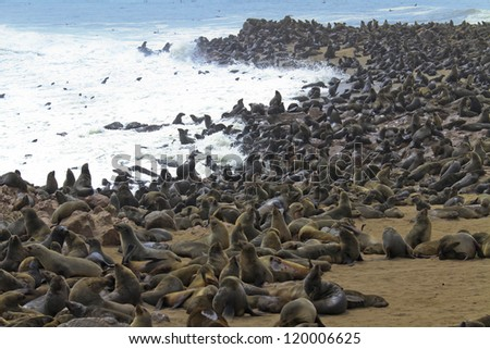 Cape fur seal Arctocephalus pusillus in Cpae Cross. Namibia - stock photo