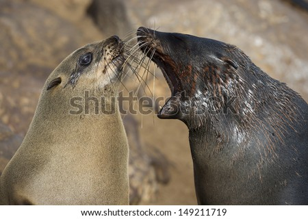 Cape fur seal bad breath, Skeleton Coast, Namibia - stock photo