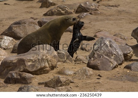 Cape Fur Seal cow carrying newborn pup in her mouth, Cape Cross, Namibia