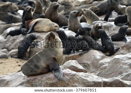 Cape fur seal on the stone coast of Atlantic ocean. Seal colony on the Cape Cross, Skeleton Coast, Namibia. Biggest seal colony in the world - stock photo