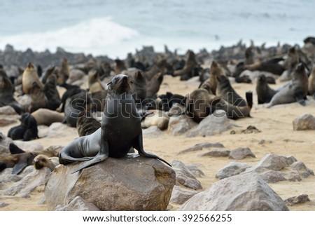 Cape fur seal on the stone coast of Atlantic ocean. Seal colony on the Cape Cross, Skeleton Coast, Namibia - stock photo