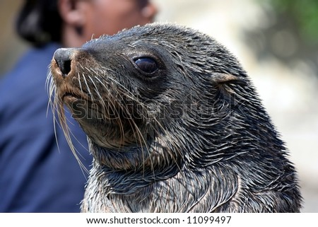 Cape Fur Seal portrait - stock photo