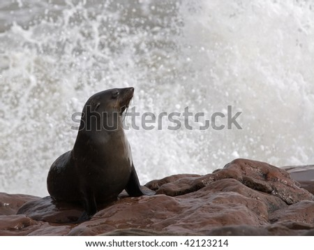 cape fur seal with a splash - stock photo