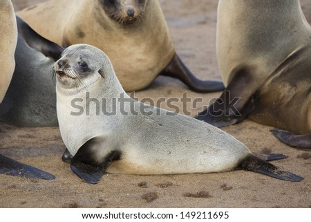 Cape fur seal young, Skeleton Coast, Namibia
