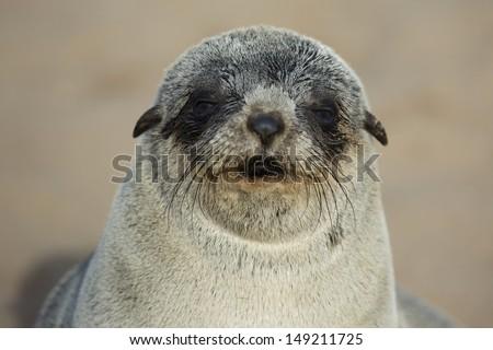 Cape fur seal young, Skeleton Coast, Namibia - stock photo