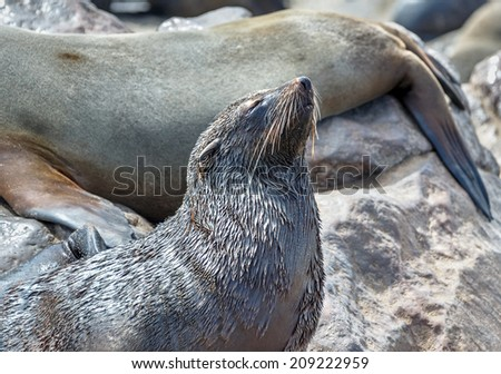 Cape Fur Seals on Cape Cross - Namibia, Africa