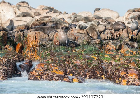 Cape fur seals on Geyser Rock, Gansbaai, South Africa - stock photo