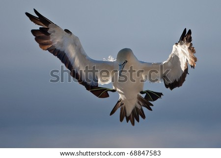 Cape Gannet, South Africa - stock photo