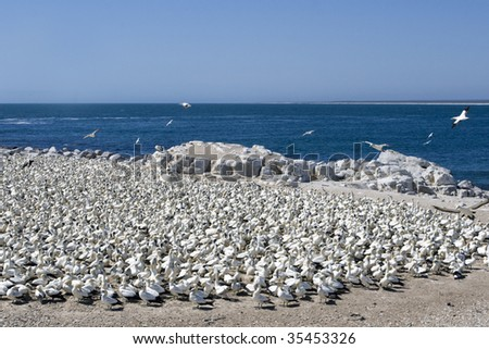 Cape Gannets Morus capensis at the colony at Lambert's Bay, on the West Coast of South Africa. - stock photo
