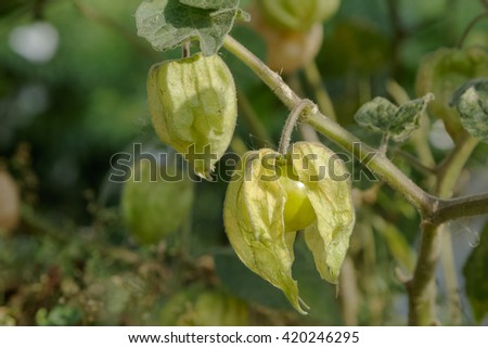 Cape Gooseberry (Physalis peruviana) on green background - stock photo
