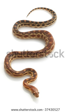 Cape Gopher Snake (Pituophis catenifer vertibralis) isolated on white background. - stock photo