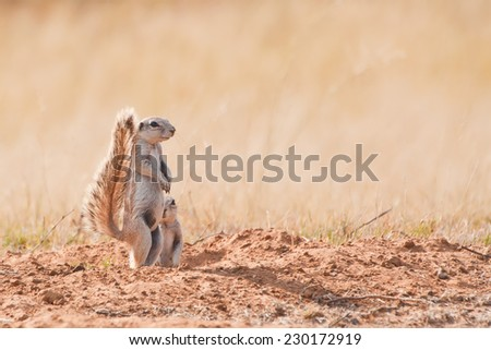 Cape Ground Squirrel (Waaierstert Meerkat) at a Nature Reserve in South Africa
