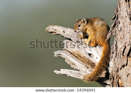 Cape Ground Squirrel (Xerus inauris), taken at Kruger National Park, South Africa