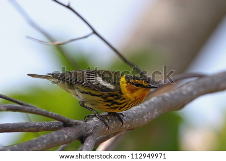 cape may warbler - stock photo