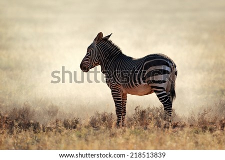 Cape Mountain Zebra (Equus zebra) in dust, Mountain Zebra National Park, South Africa - stock photo