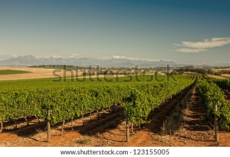 cape peninsula vineyard with rows of grape vines and distant mountains - stock photo