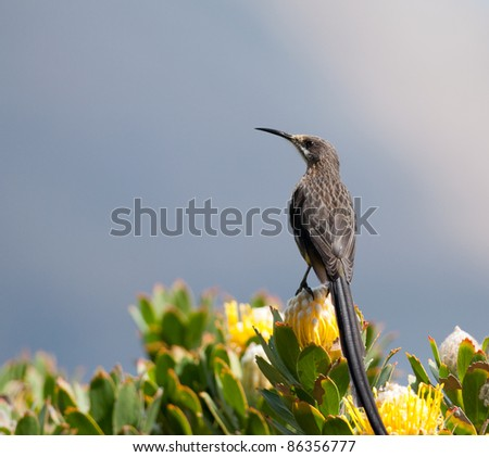 Cape Sugarbird on a yellow protea with blue sky background - stock photo