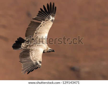 Cape Vulture gliding by with wings fully extended - stock photo
