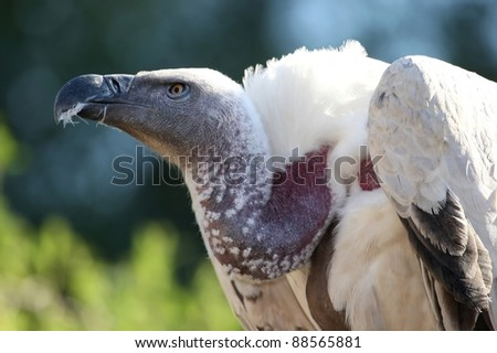 Cape Vulture or Griffon's Vulture with big beak and bare neck - stock photo