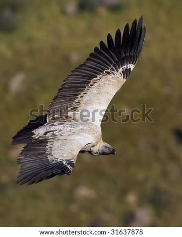 cape vulture soaring - stock photo