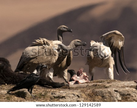 Cape Vultures fighting over some bones on a rock ledge - stock photo