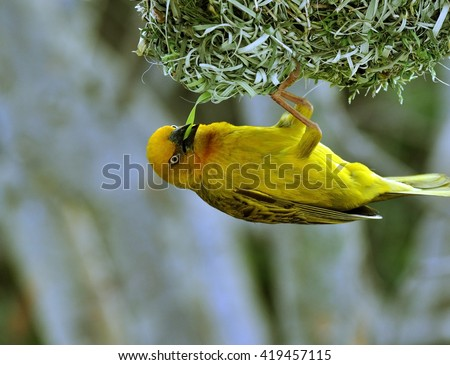 Cape Weaver, Ploceus capensis, a resident breeding bird species endemic to South Africa building a nest.