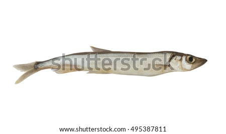 Capelin fish isolated on white