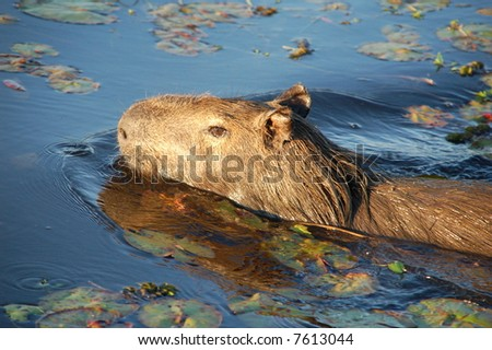 Capibara swimming in Argentine Marshland - stock photo