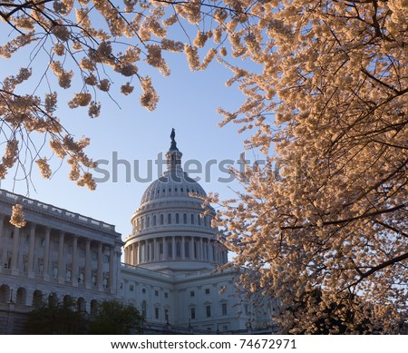 Capitol building in Washington DC illuminated early in the morning with cherry blossoms framing the dome of the building