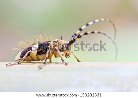 Capricorn beetle (long-horned, longicorn) Batocera rufomaculata in (Phu Soi Dao National Park)  asia southeast asian thailand - stock photo