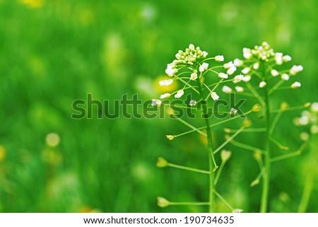 Capsella bursa-pastoris in summer city park. - stock photo