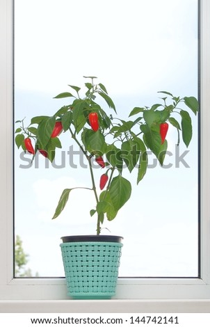 Capsicum annuum. Cultivation of red pepper on a windowsill - stock photo