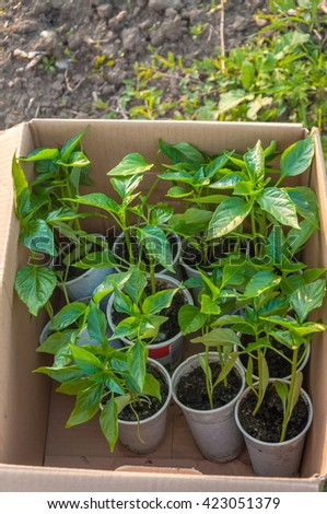 Capsicum seedlings - stock photo