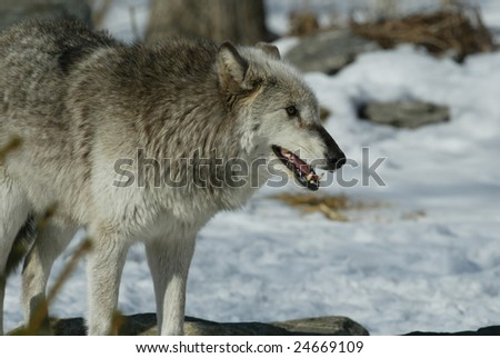 Captive Alpha Female North American Grey Wolf