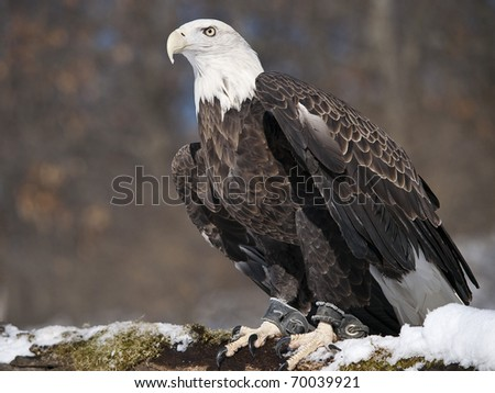 Captive American Bald Eagle perched on a snow covered log, he has a jess on his legs. - stock photo