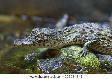 Captive baby nile crocodile (Crocodylus niloticus) - stock photo