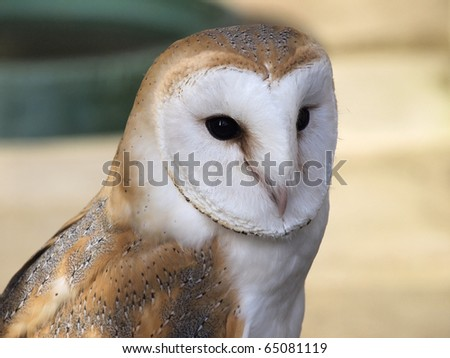 Captive barn owl - stock photo