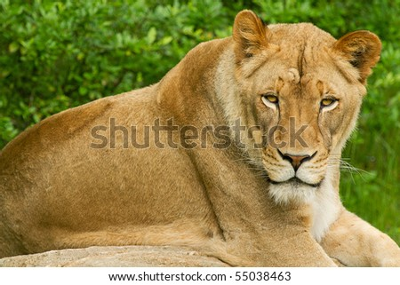 Captive lioness resting on a boulder - stock photo