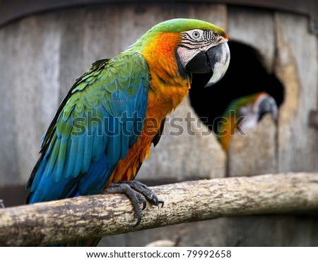 Captive macaw parrot on a natural branch with it's mate in the nest box barrel behind. - stock photo