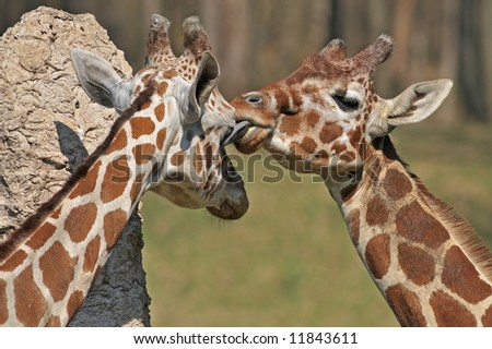 Captive reticulated giraffes sharing an intimate moment where one licks the eye of the other