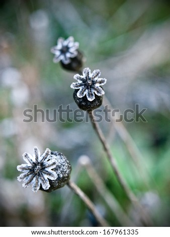 Capture of poppy heads with frost, bokeh - stock photo