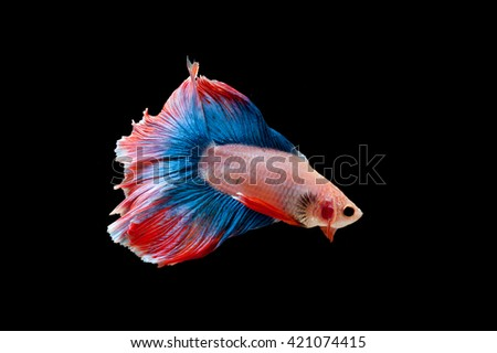 Capture the moving moment of Betta fish,Siamese fighting fish in movement isolated on black background. - stock photo