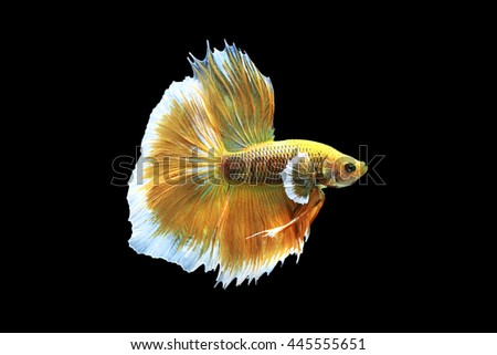 Capture the moving moment of Golden siamese fighting fish isolated on black background.